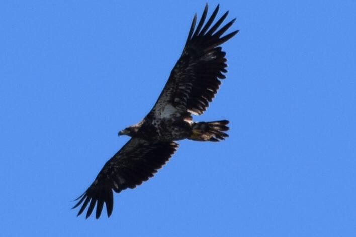 1st Year Bald Eagle
